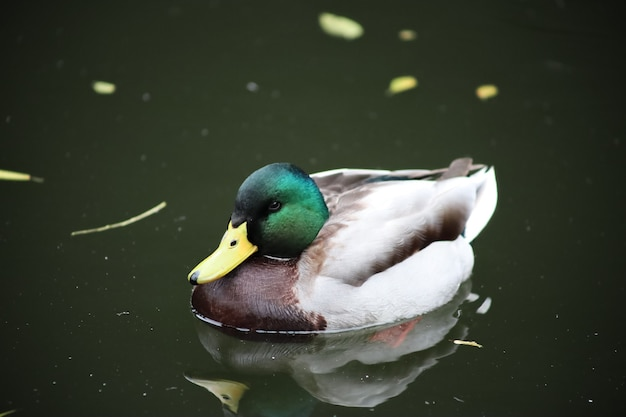 Duck swims on the lake