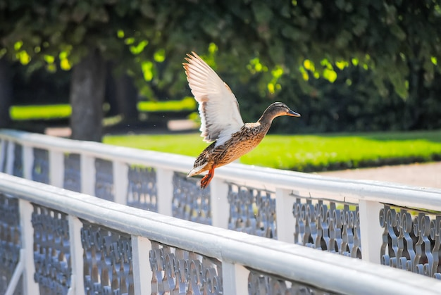 Duck takes off from the railing on the bridge