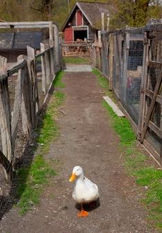 Duck walking down path between livestock pens on farm