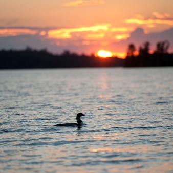 Duck on the water at dusk in lake of the woods, ontario