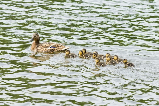 Duck with ducklings in the pond