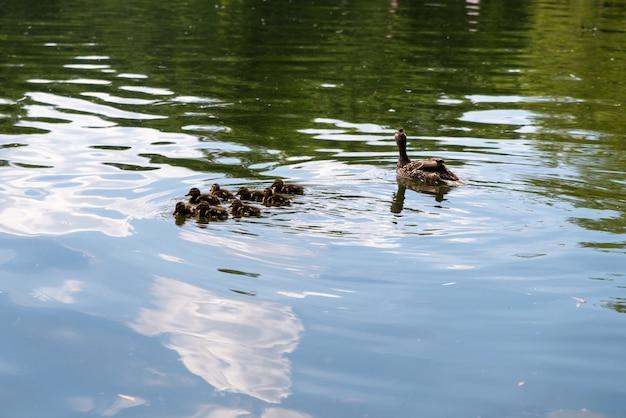 Утка с маленькими утятами плавает в пруду