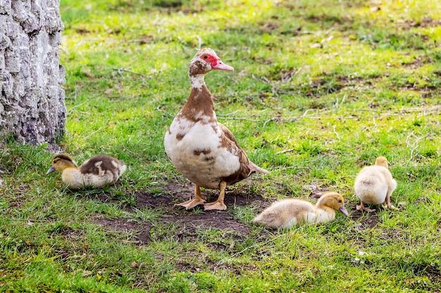 Утка с маленькими утками на зеленой траве в поисках еды
