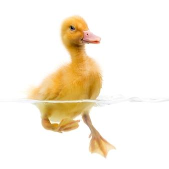 오리 (7 일 이전) 수영, 흰색 절연