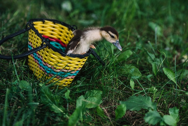 Duckling coming out from the yellow basket on green grass