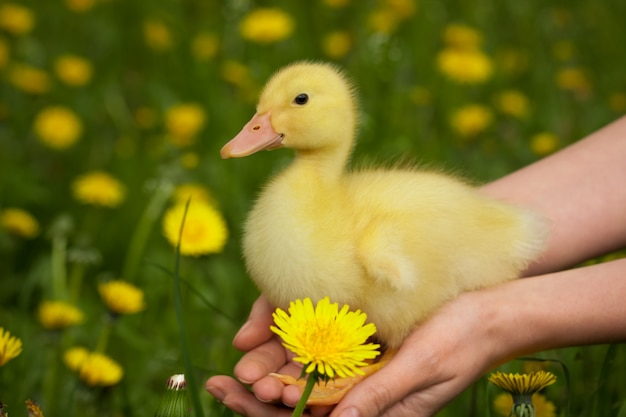 Duckling in human hands. nature concept