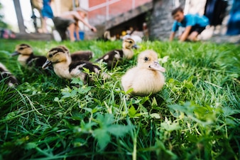 Duckling in the green grass
