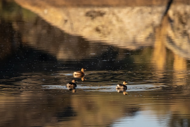 Barruecos自然地域で泳ぐアヒルの子。