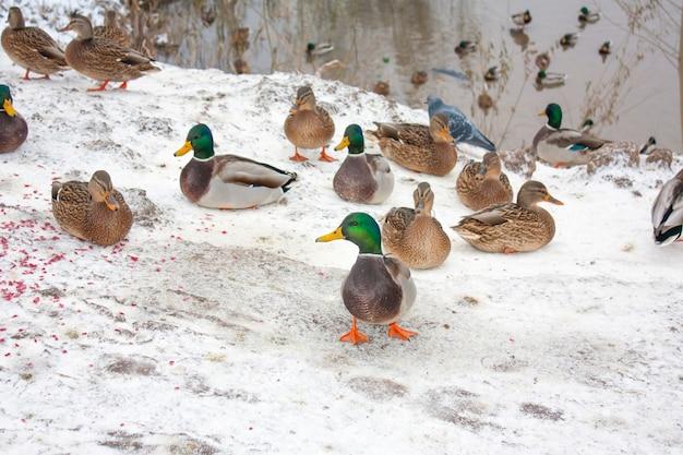Утки и селезни на берегу зимнего пруда
