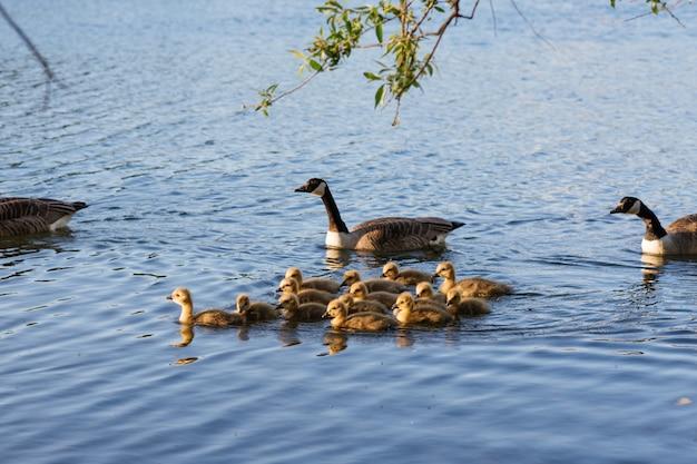 Утки и много утят плавают на озере