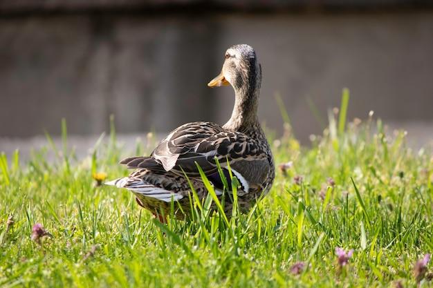 Утки греются на солнышке на зеленой лужайке весной первое теплое солнышко для уток