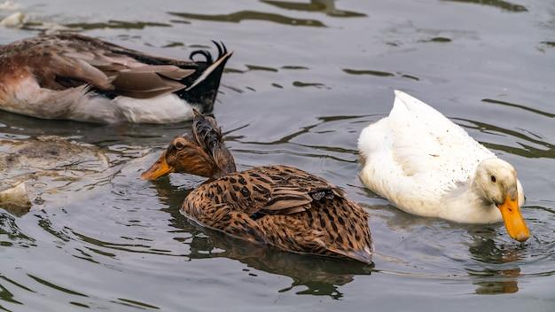 Утки ловят рыбу в воде