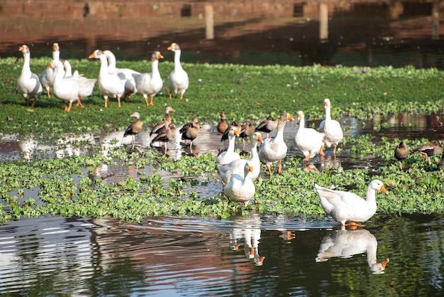 生息地、ブラジルの湖や湿地で太陽を楽しんでいるアヒル、自然光、選択的な焦点。