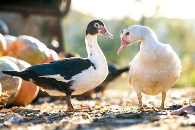 アヒルは伝統的な田舎の納屋を食べます。アヒルの頭の詳細。納屋の庭に立っている水鳥のクローズアップ。放し飼いの養鶏のコンセプト。