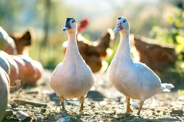 오리는 전통적인 시골 앞마당에서 먹습니다. 오리 머리의 세부 사항입니다. 헛간 마당에 서 있는 물새의 클로즈업. 무료 범위 가금류 농업 개념입니다.