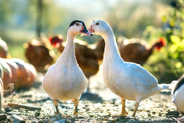 Утки питаются традиционным сельским скотным двором. деталь головы утки. закройте водоплавающих птиц, стоя на дворе сарая. концепция птицеводства на свободном выгуле.