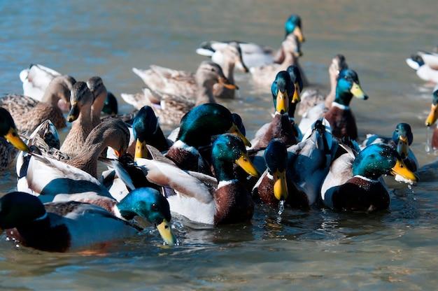 Ducks feeding in a lake