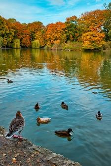 뮌헨 영어 정원 englischer garten 공원 뮌헨 바이에른 독일의 호수에 오리