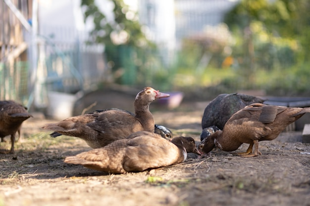 Утки в загоне на ферме