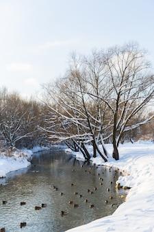 冬の雪の多い森の中の川のアヒル。森の中の雪。美しい風景