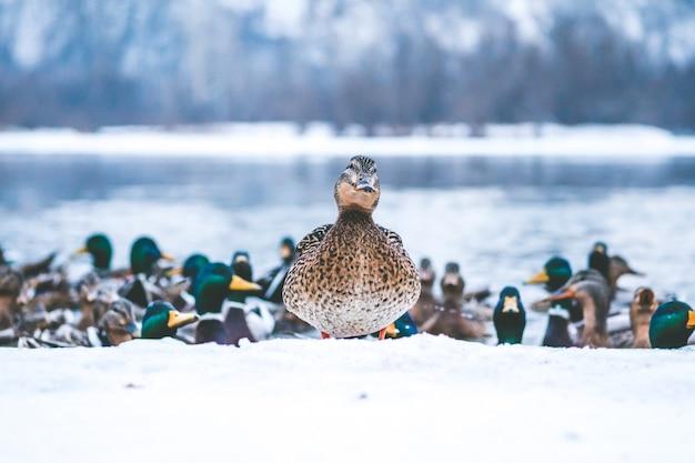 湖の冬のアヒル