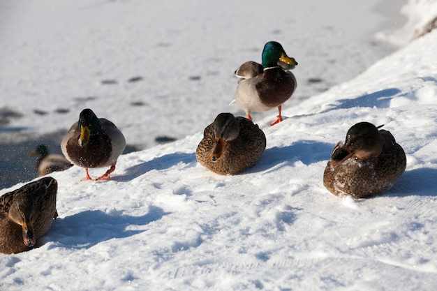 Ducks live in the city near the river, in winter they are fed by people