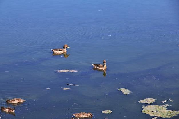 Утки на laguna nimez reserva в эль калафате, патагония, аргентина