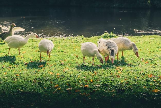 Утки на поле, покрытом зеленью, в окружении озера под солнечным светом