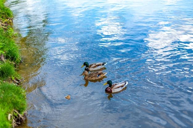 Утки на озере в городском парке.
