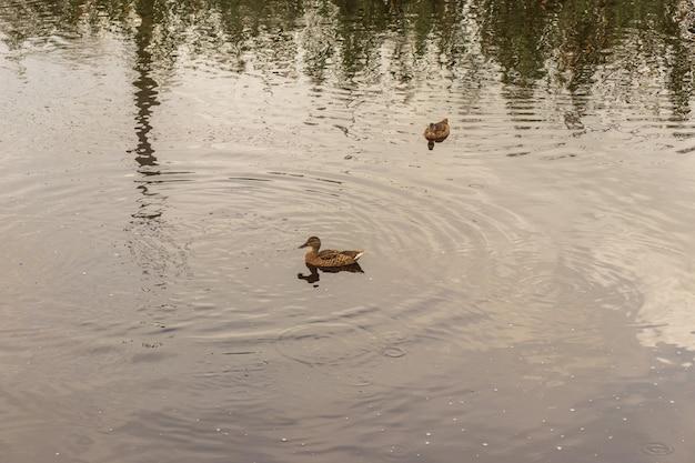 공원에서 연못에 오리입니다. 야생 오리는 호수에 반영됩니다. 여러 가지 빛깔의 새 깃털. 오리와 드레이크가 있는 연못. 오리는 물 표면에 피드. 오리는 물에서 음식을 먹는다