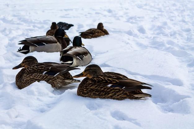 Утки отдыхают в городском парке на снегу
