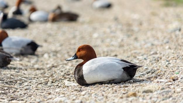 Утки сидят на берегу озера сасык-сиваш. евпатория, крым.