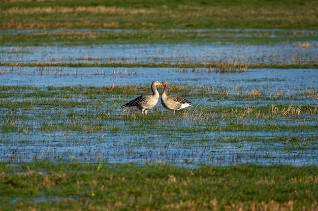 Ducks standing in front of each other on a grass field drenched with water