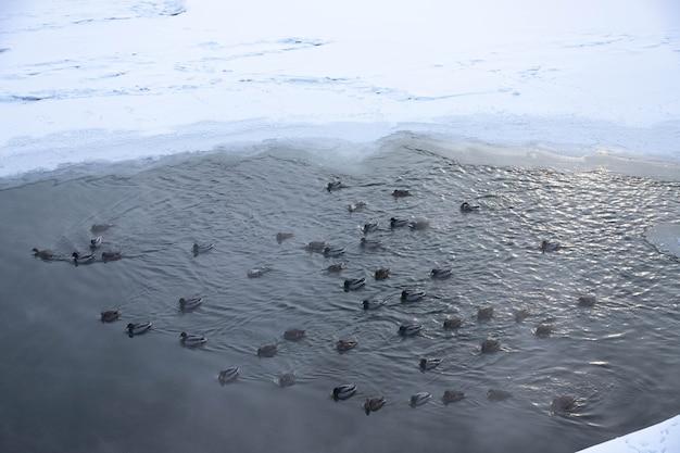 アヒルは氷の穴で泳ぎます。冬のアヒル