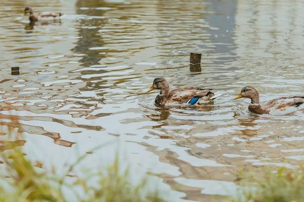 오리는 호수에서 수영합니다. 자연 속에서 야생 오리입니다. 연못에 새입니다. 새와 오리가 있는 호수