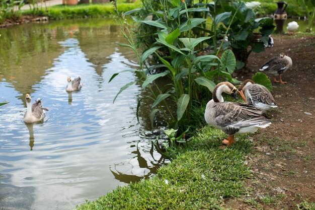 アヒルが湖で泳ぐ