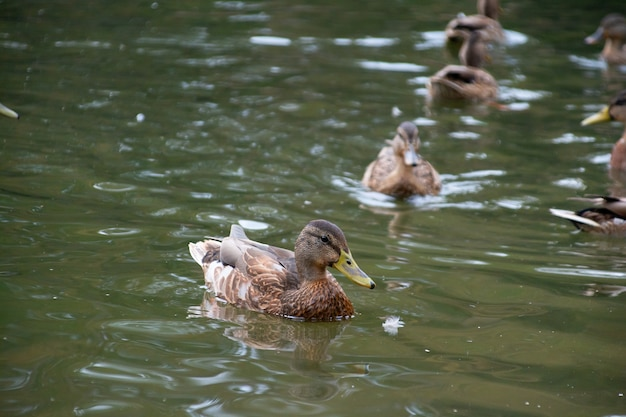 Утки плавают в пруду городского парка.