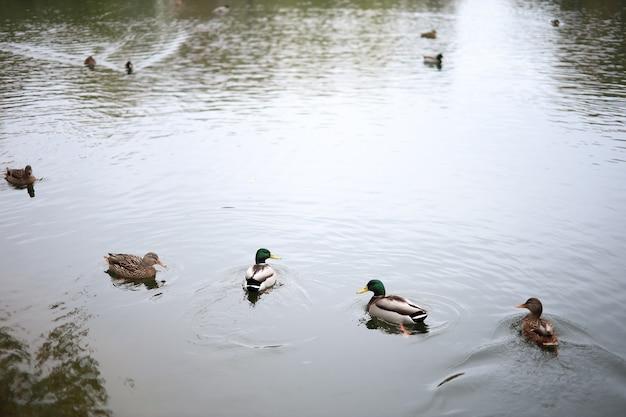 Ducks swim on the lake in autumn
