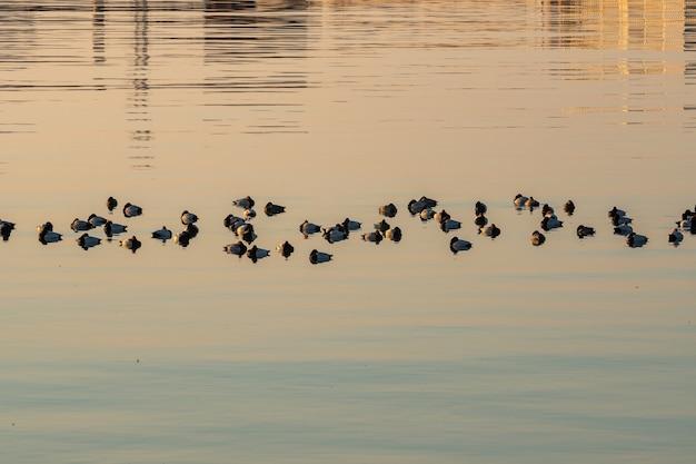 カスピ海、バクー、自然で泳ぐアヒル。野生動物。