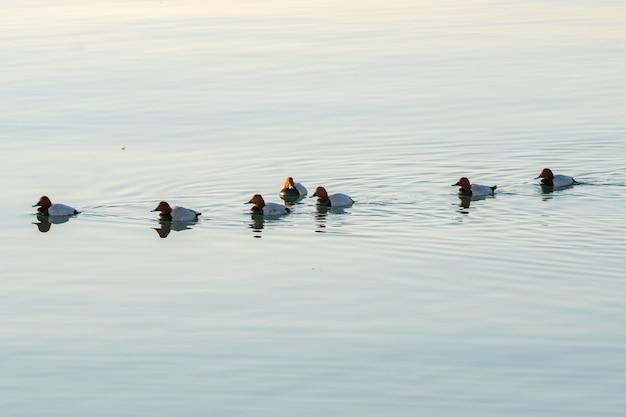 カスピ海、バクー、自然で泳ぐアヒル