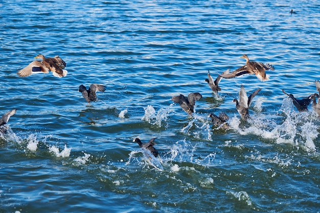 Утки купаются в городском озере
