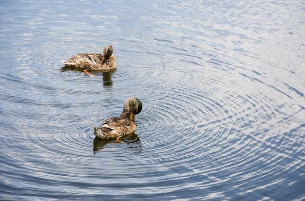 湖で泳ぐアヒル