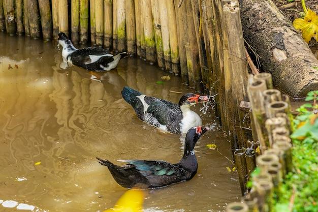 農場の池で泳ぐアヒル。