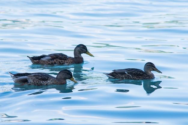 きれいな青い水と川で泳ぐアヒル