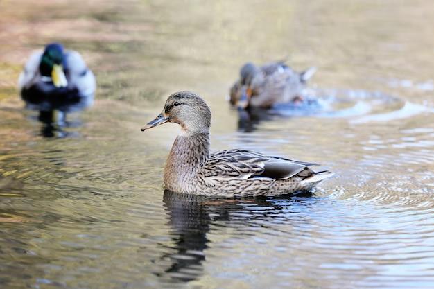 Утки плавают в воде