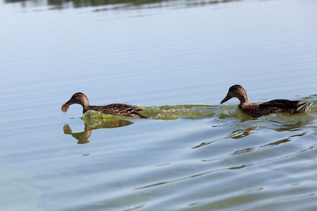 Ducks in their natural habitat