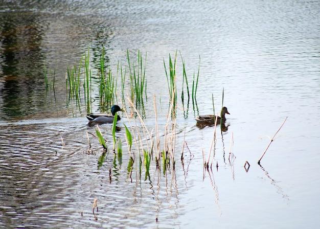 Ducks in the timavo river, san giovanni di duino - italy