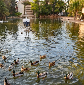 Ducks in viveros park pond of valencia