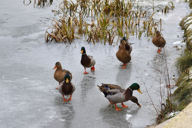 Ducks walk on the ice. migratory ducks winter.