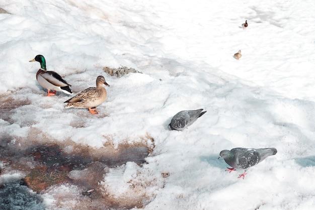 冬はアヒルが公園を散歩します。ロシアで越冬する鳥。雪の中を歩くアヒル